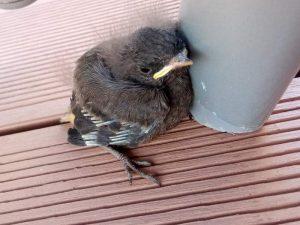 Dieser Hausrotschwanz gehört noch ein paar Tage ins Nest, © Louisa Lämmle