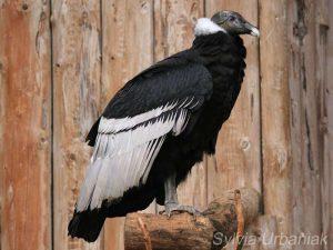 Weiblicher Andenkondor (Vultur gryphus), © Sylvia Urbaniak
