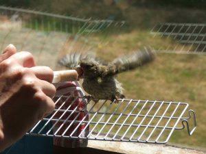 Junger Grünfink wird per Spritze mit Brei gefüttert, © Dagmar Offermann