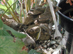Junge Grünfinken, © S. Rohrlach via Wikipedia