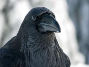 Kolkrabe (Corvus corax), © Charlene Wood via Flickr