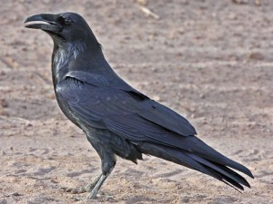 Kolkrabe (Corvus corax), © J. N. Stuart via Flickr