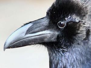 Kolkrabe (Corvus corax), © kodachrome65 via Flickr