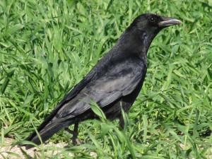 Rabenkrähe (Corvus corone), © Gaby Schulemann-Maier