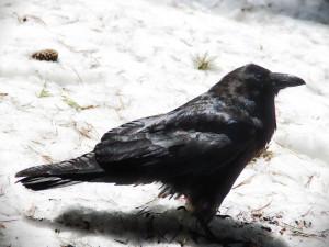 Rabenvogel im Schnee, © arawyndesigns / Pixabay