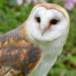 Schleiereule (Tyto alba), © LoneWombatMedia / Pixabay