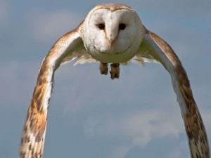 Schleiereule (Tyto alba), © Richard Towell via Flickr