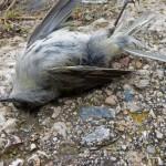 Vogelmord im Süden