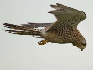Turmfalke (Falco tinnunculus), © Bernard Stam via Flickr