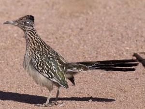 Wegekuckuck (Geococcyx californianus), © Anne Reeves via Flickr