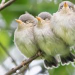 Junge Zilpzalpe (Ästlinge), © Thomas Erichsen