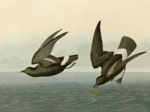 Zwergsturmschwalbe (Halocyptena microsoma), © John James Audubon via Wikipedia
