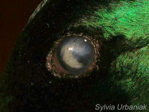 Augenveränderung bei einer Stockente © Sylvia Urbaniak