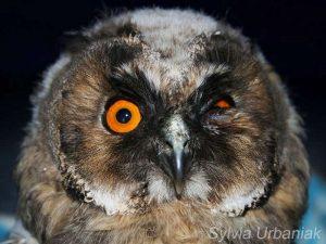 Augenverletzung bei einer Waldohreule, © Sylvia Urbaniak