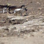 Beitragsbild Mehlschwalbe adult