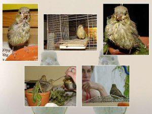 Szenen aus dem Leben der jungen Grünfinken, © Karla und Gernot Disselhoff