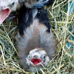 Jeune geai des chênes, © Dagmar Offermann