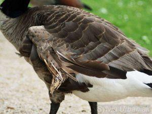 Kippflügel bei einer Kanadagans, © Sylvia Urbaniak