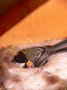Kohlmeise mit Jungvogel im Nest, © Norbert Wittekopf