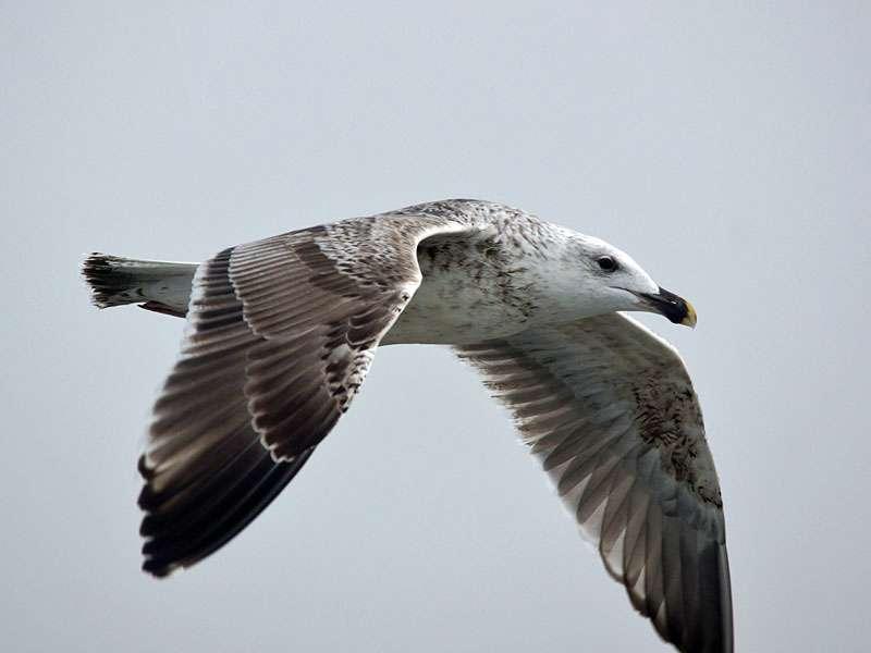 Goéland marin juvénile, © Dirk-Jan van Roest via Flickr