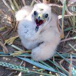 Junge Wiesenweihe, © Komitee gegen den Vogelmord
